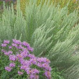 Monarda fistulosa 'Wichita Mountains' in front of Artemisia filofolia