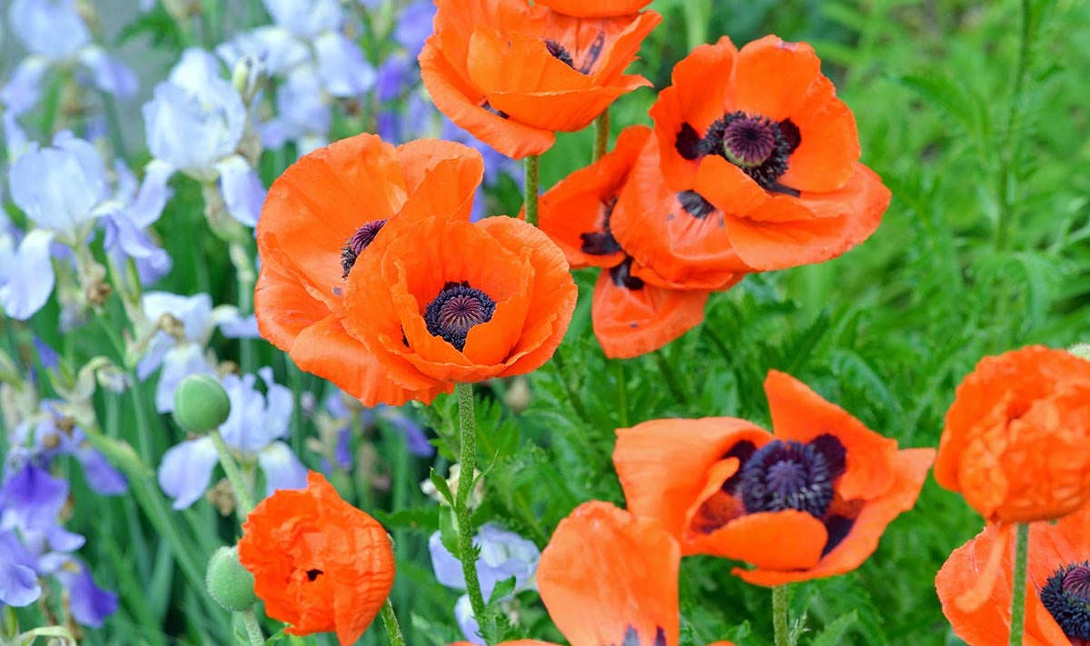 Oriental Poppy and Bearded Iris paired in garden