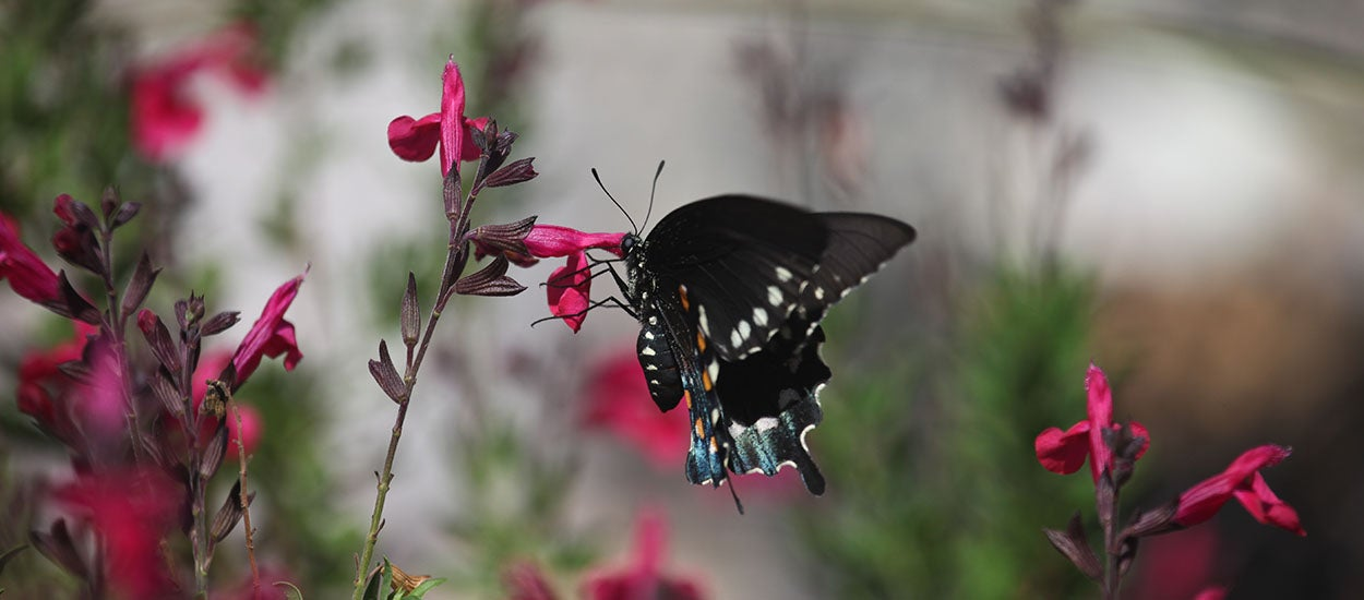 Pipeline Butterfly with Salvia Raspberry Delight