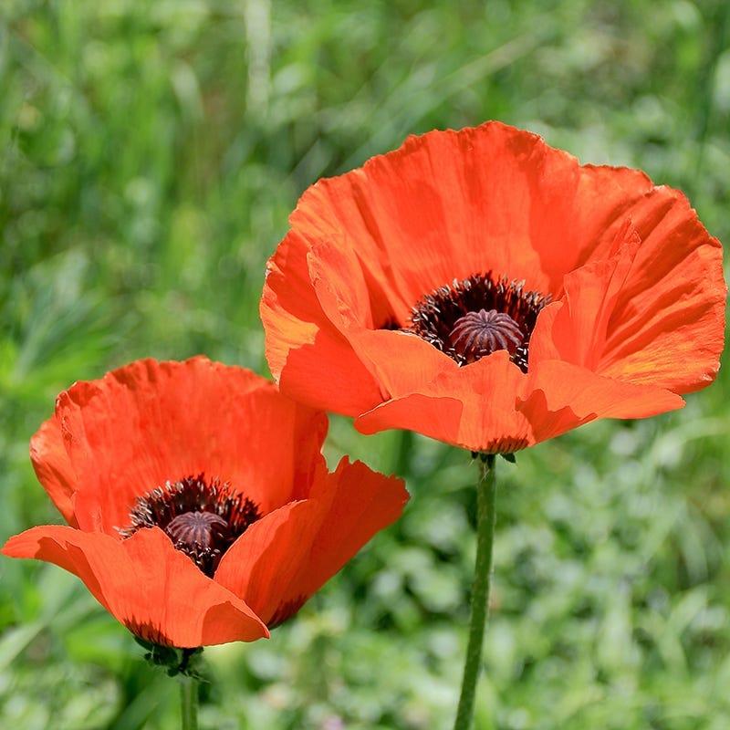 Oriental Poppy (Papaver)