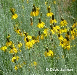 The blooms of Ratibida columnifera 'Yellow' stand out when blended with Artemisia frigida.