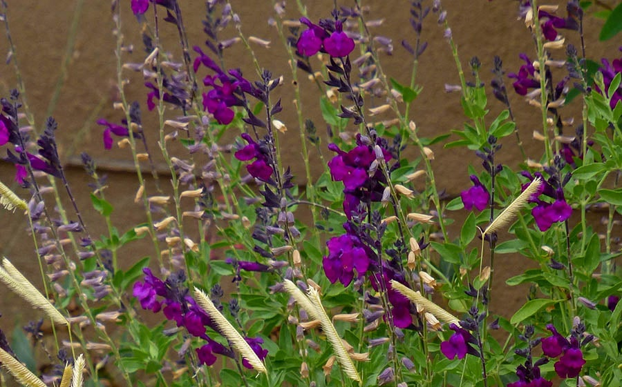 Salvia Dark Shadows contrasted with Blonde Ambition