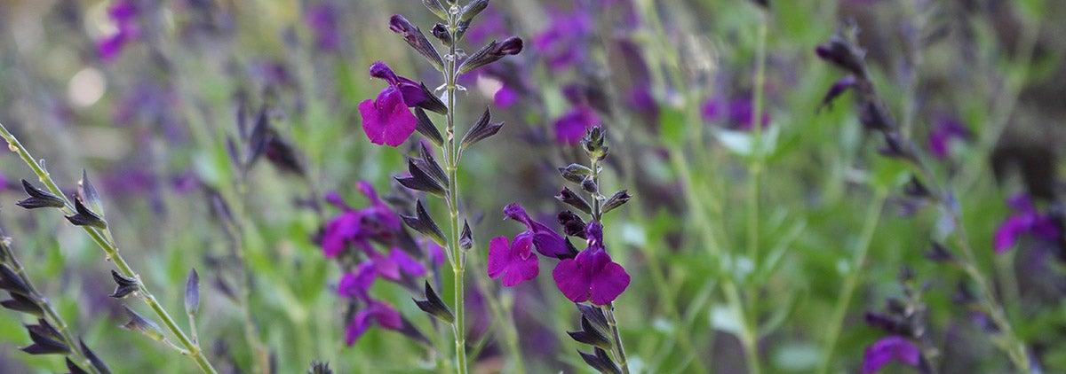 FlowerKisser™ Dark Shadows Sage (Salvia)