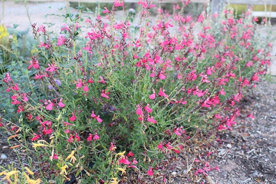 Everblooming FlowerKisser™ Coral Pink Sage (Salvia)