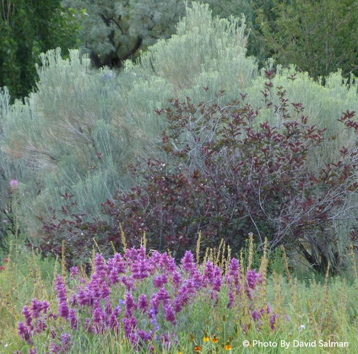 Silvery foliage makes a lovely backdrop for other plants. Shown here: Salvia pachyphylla (foreground), Prunus cistina, Chrysothamnus (rear).