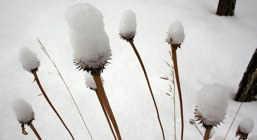 Seedheads covered with snow