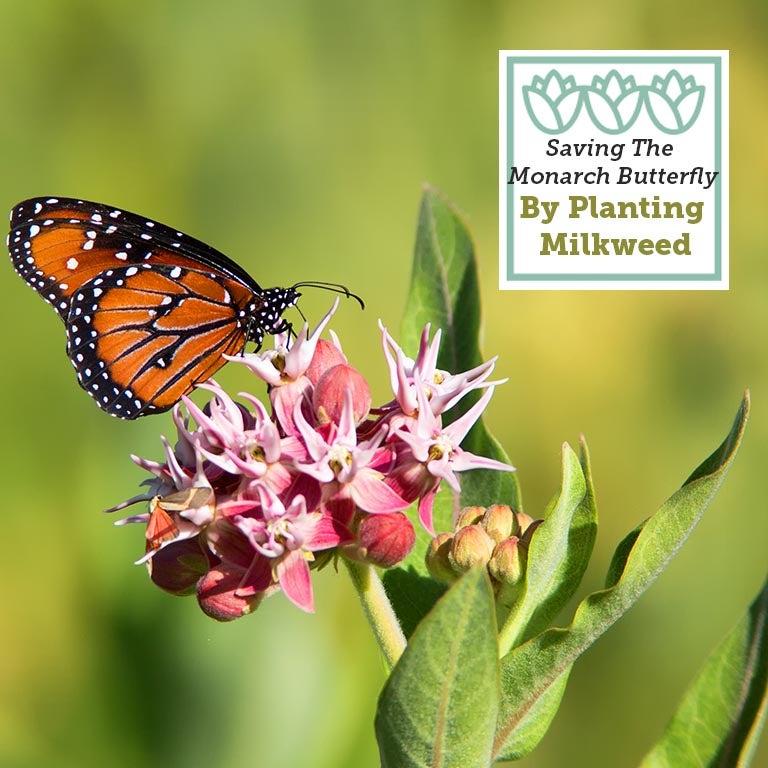 Monarch with Pink Milkweed