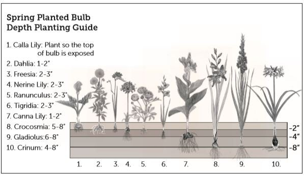 Spring Planted Bulb Depth Planting Guide