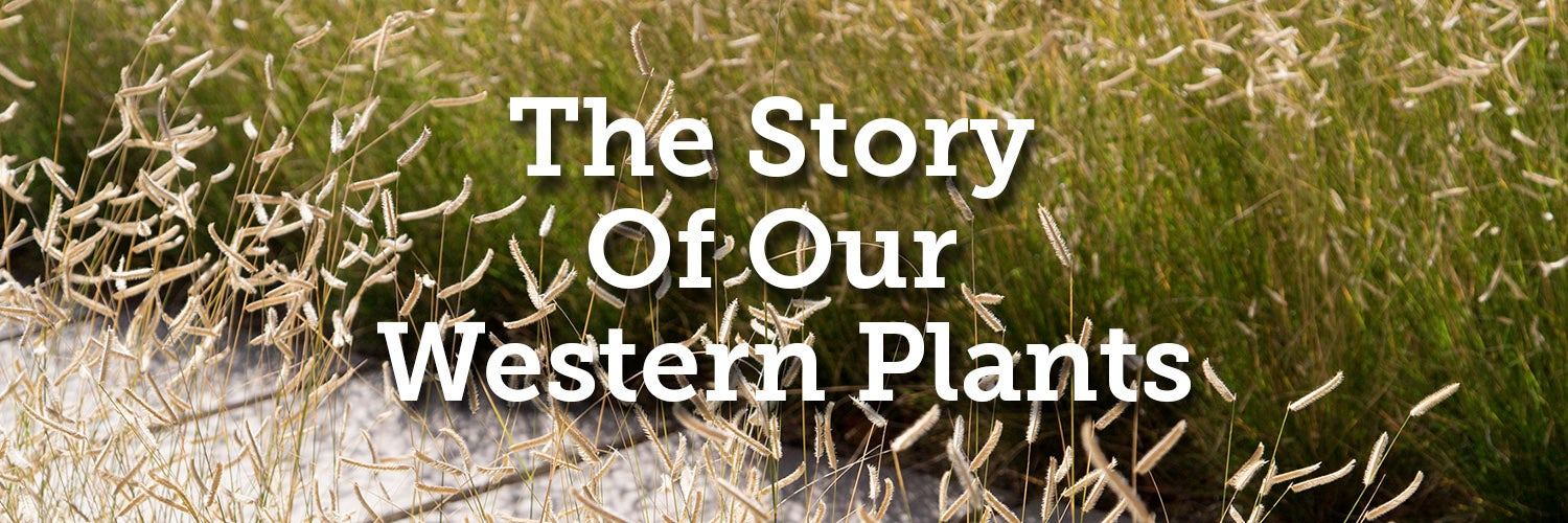 The Story Of Our Western Plants - Blonde Ambition Blue Grama Grass In The Background