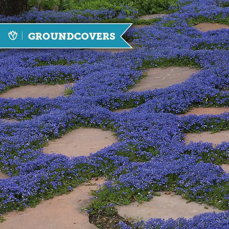 Groundcovers You Can Step On High