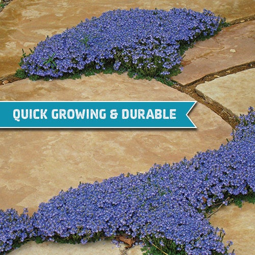 Thyme Leaf Speedwell (Veronica oltensis) is quick growing, durable, and easily a garden favorite when it comes to groundcovers you can step on.