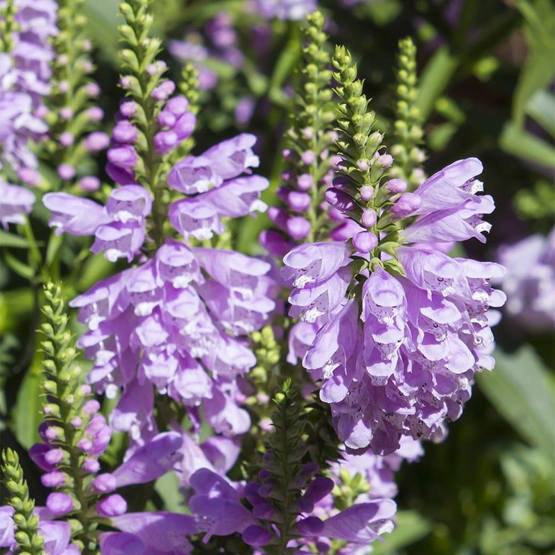 Pink Deep Lavender-Pink Flowers Hardy Plants Seeds Obedient Plant Seeds 10