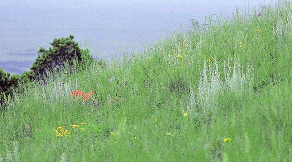 Wildflowers planted with Western Trails Native Grass Seed Mix