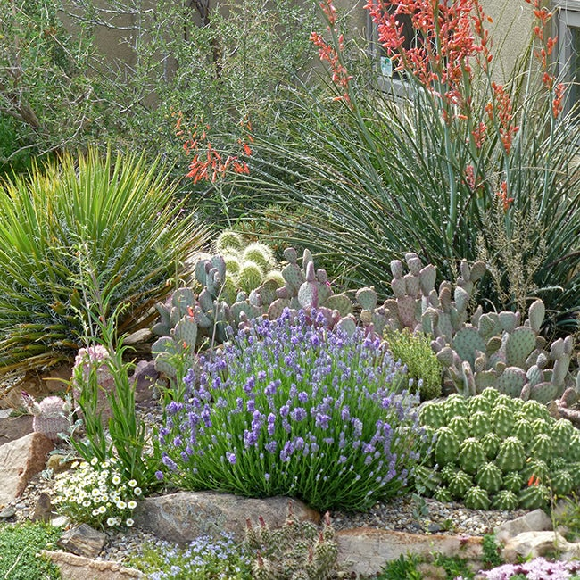 Lavender prefers well-drained soil