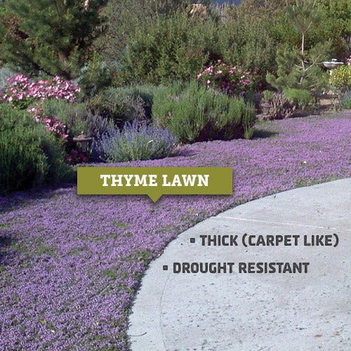 The Thyme lawn eventually thickened enough to be a carpet-like mat of color.