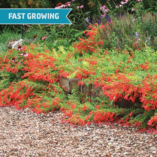 If you have an area that needs to be filled, but no foot traffic, Creeping Hummingbird Trumpet Fire Chalice (Zauschneria garrettii Orange Carpet®) is the quintessential, dramatic groundcover for you.